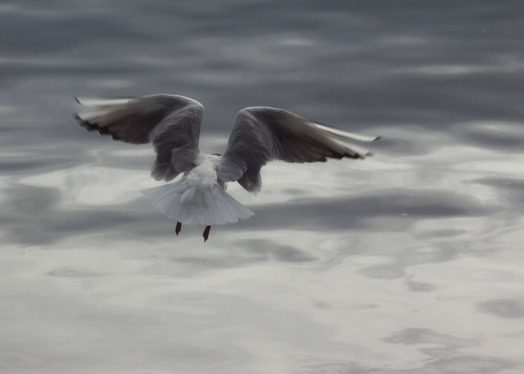 Merilintu lentää tuulessa