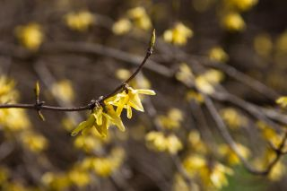 Keväinen onnenpensaan oksa auringon valossa, keltaiset kukat